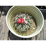 PLAT FIRM GERMINATIONSAMEN: Pferd-Crippler Kakteensamen Echinocactus Texensis 75 + Seeds