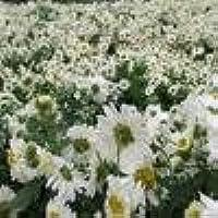 Suchergebnis Auf Amazon De Fur Chrysantheme Weiss Weiss Blumen