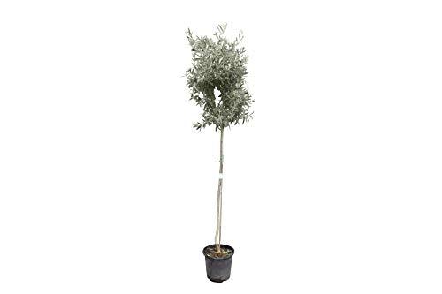 Hochstämmiger Olivenbaum 170cm hoch, winterhart, olea europea
