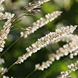 FERRY Keim Seeds: Silky Spike Melic s Seeds (Melica) 30Seeds (60)