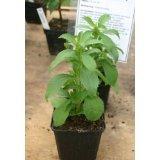 Stevia Süßkraut Honigblatt Stewia 100+ Samen - Portion von Samenchilishop bei Du und dein Garten