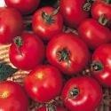 Just Seed Saatgut, Tomaten, Moneymaker, 200 Samen Beliebte Sorte