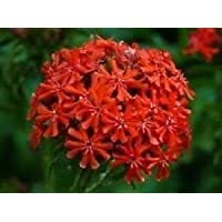 Fash Lady 50+ Cruz de Malta roja Lynchins Heirloom/Deer Resistant/Flower Seeds