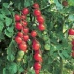 Shop Meeko Tomato Gardener Delight '/ Heritage Cherry Tomaten/Samen -