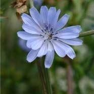 justseed Wild Flower Chicor e wegwarten Intybus 1500 Samen