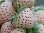 >>>Sonderangebot<<< Weiße Ananas-Erdbeere ca 150 Samen (Ananas+Erdbeere) (Neu)