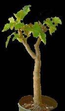 VISA STORE Jatropha curcas, biodisel Green Fuel Seltene Sukkulente Samen halb Samen 20 Samen