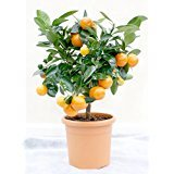 calamondin-tree-miniature-orange