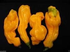 VISA STORE Maysian Goronong Pepper - 100 Samen (Capsicum chinense) tic, sehr selten!