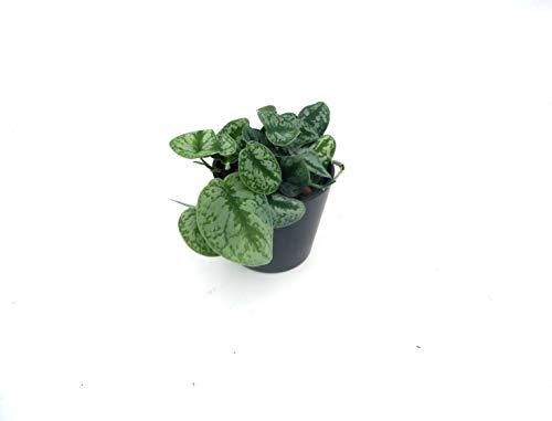 EVRGREEN | Gefleckte Efeutute als Zimmerpflanze in Hydrokultur mit schwarzem Topf als Set |...