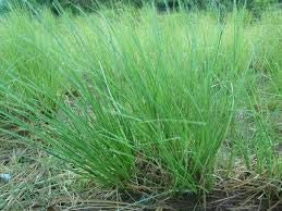 RAMACHAM-CUSCUS GRASS-VETIVER-ANDROPOGON MURICATUS-LIVE PLANT WITH FREE POT
