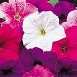 Fiore - Kings Seeds - Confezione Multicolore - Petunia Merlin Mix F1