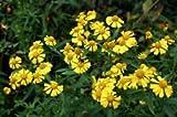 Helenium autumnale, HELEN'S FLOWER, fiore giallo starnuto erbaccia, 320 semi! Groco
