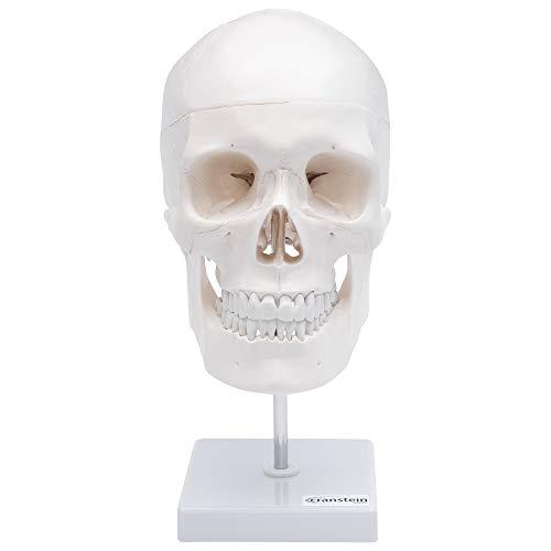 Zoom IMG-3 cranstein e 246 cranio umano