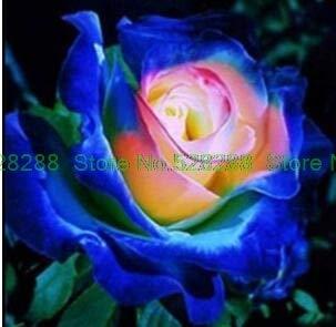 Bloom Green Co. bonsaïs 150 pcs/paquet Rainbow Rose Holland Flower amant cadeau RARE 25 exotiques couleurs au choix jardin d'accueil: 27