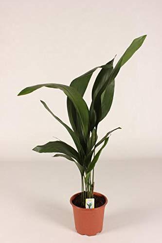 Aspidistra elatior 80-90 cm Schusterpalme Metzgerpalme Schildblume Zimmerpflanze