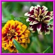 Tapis Persan Zinnia! 25 graines petites fleurs BOLD DE BEAUCOUP DE COULEURS! Combiné S/H!