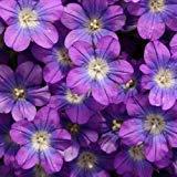 vegherb Venus Spiegel Blau Bodendecker Samen (Legousia Speculum) 200 + Seeds (400+)