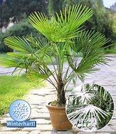 BALDUR-Garten Winterharte Kübel-Palmen, 1 Pflanze, Trachycarpus fortunei von Baldur-Garten - Du und dein Garten