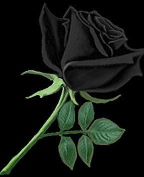 50 Graines Rose Noire - avec bord rouge, couleur rare, jardin de fleurs vivaces populaires Semences Bush ou Bonsai Fleur 7
