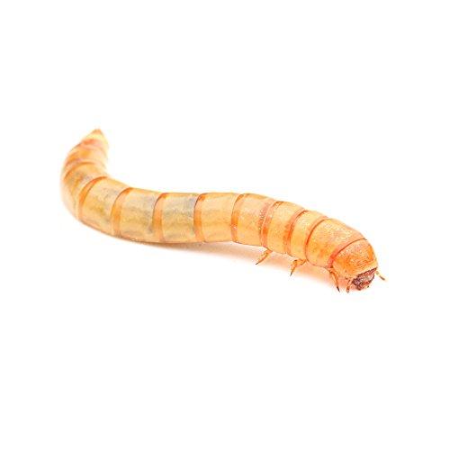 proinsects Lebende Mehlwürmer (40 g, 3X 100 g, 500 g oder1 kg) (40 g)