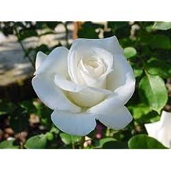 Rosal Blanco, planta en maceta, altura aprox 30cm