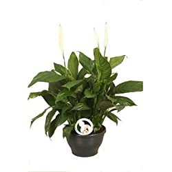 FloraStore - Spathiphyllum Lima (Air So Pure) (1x),  Höhe 65 CM, Topf 30 CM, Zimmerpflanze