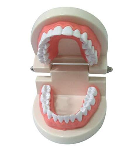 QILEGN Zahnpflege-Modell für Erwachsene, Zahnfleisch, Standard-Demonstrationswerkzeug