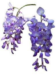 Plante grimpante - Glycine de Chine (Wisteria sinensis \