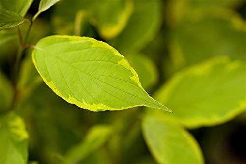 Immergrün - Weißes
