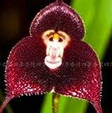 100pcs 5 Arten Netter Affe-Gesichts-Orchideen-Samen Affe Orchid Bonsai Pflanzen Blumen Samen für Heim & Garten