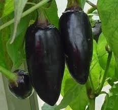 chili-black-hungarian-pepper-seeds-unusual-heirloom