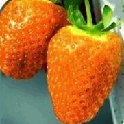 100pcs / sac 24 sortes de fraises Collection graines de fraises de fruits géant bonsaï pot non-OGM bio pour plantes de jardin à la maison 20