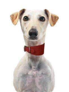 Cani & Co morbido cuoio affusolate collari per Whippets & Hounds. Rosso rubino
