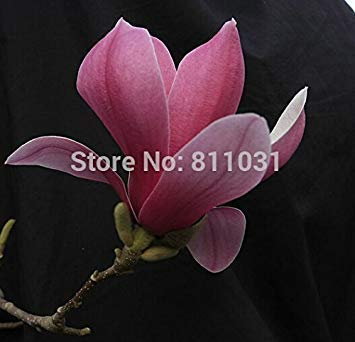 Virtue New Home Garden Plant 10 Seeds Genuine Michelia Champaca Magnolia Flowering Tree Fragrant JOY Perfume Flower Seeds Free Shipping -