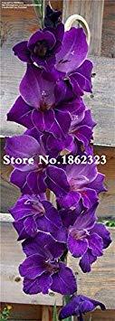 potseed . multi-color gladiolus flower (non gladiolus bulbi), 95% di germinazione, fai da te aerobica in vaso, rare gladiolus flower-120 pz: 23