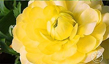 ASTONISH Erstaunen SEEDS: New Frische Seeds 10 PCS/Lot Samen Blumensamen für Heim & Garten DIY Pflanzen persischer ercup Seed Blumen, I7JEHJ - Persischen Garten Blumen