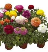ranunculus-bloomingdale-mixed-10-seeds