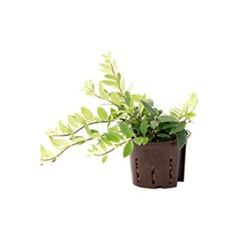 Schamblume, Aeschynanthus lobbianus, ca.15 - 20 cm, Hängepflanze in Hydrokultur, 11/9er Kulturtopf