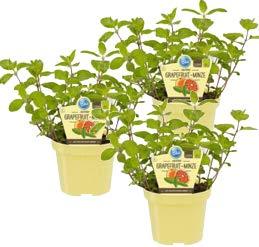 Bio Minze Grapefruit-Minze (Mentha suaveolens x piperita), Kräuter Pflanzen aus nachhaltigem Anbau, (3 Pflanzen im Set)