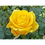 [Sponsored]Live Rose Plant For Indoor Outdoor Uses Different Colors Without Pot With Bud@599 For 10 Plants
