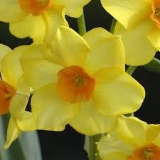Idea Regalo - 100 pz bulbo bulbi narcisi gialli giallo fiore vaso giardino autunnali MARTINETTE