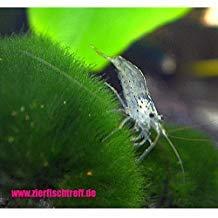 Zierfischtreff.de 10 x Amanogarnelen + 5 Mooskugel - Caridina multidentata BZW. Japonica der wahrscheinlich Algenvernichter für jedes Aquarium