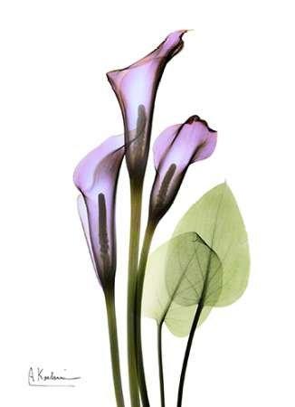 calla-lily-in-full-bloom-von-koetsier-albert-kunstdruck-auf-papier-klein-13-x-18-cms-