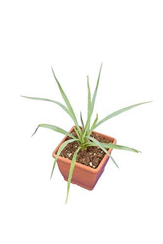 Fädige Palmlilie - Yucca rigida - Gesamthöhe 30-40cm - Topf 14x14 cm