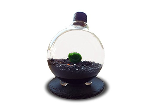 marimo-moss-ball-in-light-bulb-terrarium-rare-live-plants-just-place-them-into-light-bulb-and-add-wa