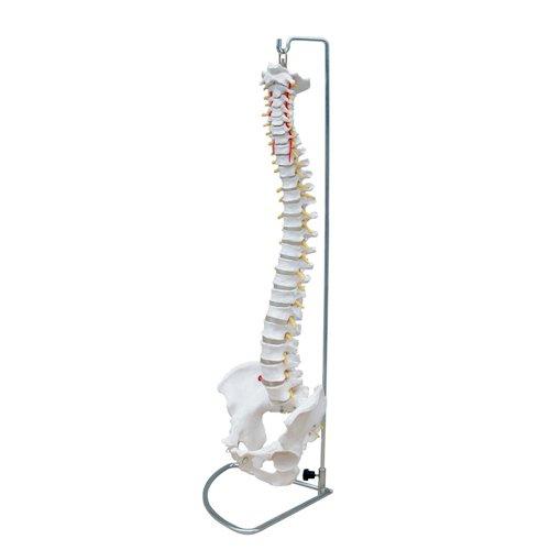 66Fit Anatomische, flexible Wirbelsäule m. Becken, medizinische Ausbildungshilfe