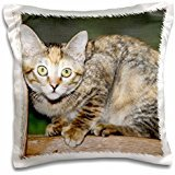 Cats - Domestic shorthair cat 16x16 inch Pillow Case