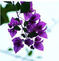 20 * mix-color bouganville spectabilis willd semi bonsai pianta fiore