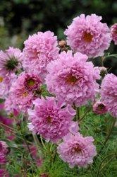 Galleria fotografica Fiore - Kings Seeds - Confezione Multicolore - Cosmos - Double Click Rosa Bonbon